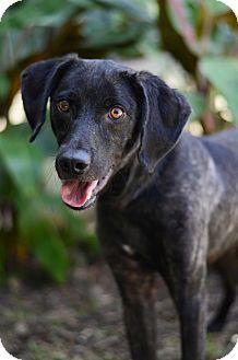 Lafayette La Plott Hound Labrador Retriever Mix Meet Carson A