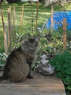 Mochi Norweigan Forest Cat
