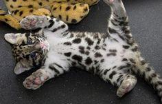 an ocelot kitten. aaaw I wanna rub that cute little belly!