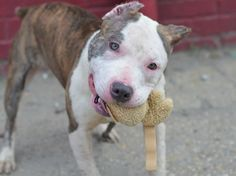 Brooklyn Center    PEARL - A1006417    FEMALE, WHITE / BR BRINDLE, PIT BULL MIX, 9 mos  STRAY - STRAY WAIT, NO HOLD Reason STRAY   Intake condition NONE Intake Date 07/12/2014, From NY 11691, DueOut Date 07/15/2014  https://www.facebook.com/photo.php?fbid=837121379634076&set=a.617941078218775.1073741869.152876678058553&type=3&theater ++++++++FRIENDLY PUPPY++++++++