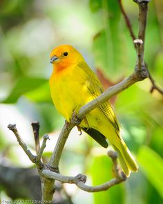 Saffron Finch by Brad Pedersen, via Flickr  Big Island, Hawaii    The Saffron Finch is a tanager from South America that is common in open and semi-open areas in lowlands outside the Amazon Basin. It has been introduced to Hawaii, Puerto Rico and elsewhere. The male is bright yellow with an orange crown which distinguishes it from most other yellow finches. They have a pleasant but repetitious song.