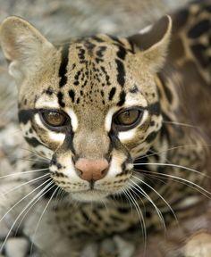 Ocelot of spots! Gatos Serval, Serval Cats, Beautiful Cats, Animals Beautiful, Cute Animals, Ocelot, Wild Animals Pictures, Animal Pictures, Wild Cat Species