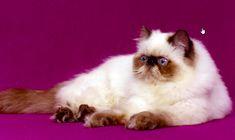 Il gatto himalayano: scopri il carattere, l'aspetto, l'origine, il prezzo e gli allevamenti. Tutto sul gatto himalayano, incrocio tra Persiano e Siamese