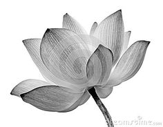 Image result for x ray lotus flower
