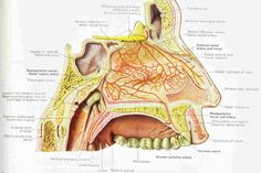 Diagram of the highly vascularized nasal mucosa