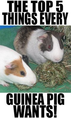 The Top 5 Things Every Guinea Pig Wants!