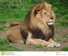 """""""You know you are truly alive when you're living among lions."""" Karen Blixen, Out of Africa Whether you seek an exotic luxury travel experience. Lion Species, Community Picture, Lion Book, Lions Photos, Trophy Hunting, Male Lion, Work With Animals, Stone Path, Out Of Africa"""