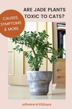 Are jade plants safe for cats? This guide covers everything you need to know including what to do if your cat ingest the jade plant. Best Indoor Trees, Tall Indoor Plants, Ficus, Garden Web, Smart Garden, Jade Plant Care, Umbrella Tree, Belle Plante, Crassula Ovata