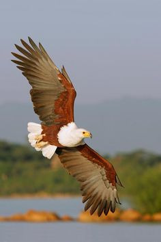 Types of Eagles in The World - Eagles are admired the world over as living symbols of power, freedom, and transcendence. There are more than 60 different species of Eagles. Pretty Birds, Beautiful Birds, Animals Beautiful, All Birds, Birds Of Prey, Exotic Birds, Colorful Birds, Aigle Animal, Eagle Pictures