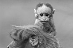 Baby monkey on mommys back Photo by angad achappa -- National Geographic Your Shot