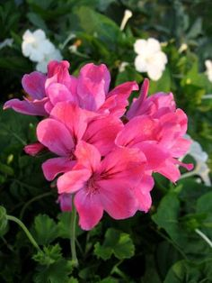 Пеларгония 'Pink Champagne'. Душистая пеларгония с остро-пряным запахом. Листики круглые с зубчиками. Цветы крупные и яркие, что не часто встречается в этой группе растений.
