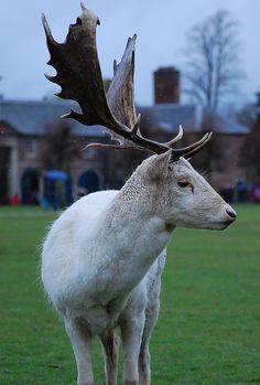 White Deer - Dunham Massey, Cheshire by PhotoHog69, via Flickr