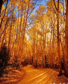Colorado #Colorado #Golden #aspen