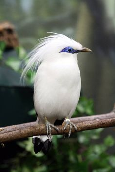 "How beautiful is this ""Bali Myna"""