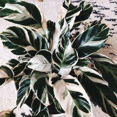 """""""White Fusion Calathea"""" - # Check more atpflanzen. - """"White Fusion Calathea"""" – # Check more at plants. Cactus House Plants, House Plants Decor, Plant Decor, Garden Plants, Cactus Cactus, Cactus Decor, Patio Plants, Indoor Garden, Indoor Plants"""