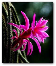 Cactus Flower | by Kat~Morgan