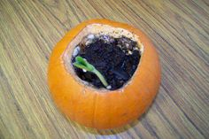 Open up pumpkin, add a little water and soil and watch the seeds that are already inside grow