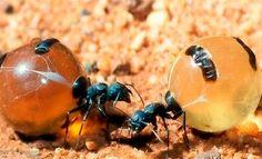 connaissez-vous-les-fourmis-pot-de-miel-_trt-francais-4806