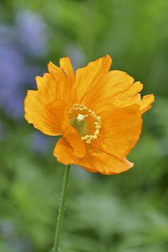 ~~Orange Poppy by H Oke~~