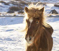 Icelandic horse by Anna Guðmundsdóttir on 500px