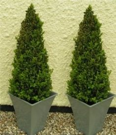 Pair of Premium Quality Topiary Buxus PYRAMIDS with stylish contemporary Flared SILVER Planters