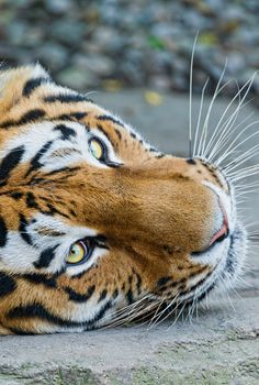 Portrait of Lailek by Tambako the Jaguar