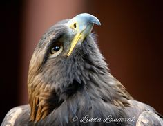 "27 Likes, 5 Comments - Linda Langerak (@linda_langerak) on Instagram: ""Ares a Golden Eagle checking out the Turkey Vultures that were flying overhead @islandraptors in…"""