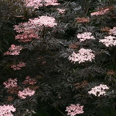 The flowers, foliage, and fruit of Black Lace™ elderberry bring drama to the garden all season long.