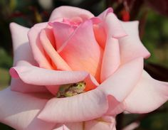 In this precious capture, we see a tiny frog getting some shade from the afternoon sun between the petals of a rose. The little smile on his face is priceless...  photo by Karen(jumbokedama on Flickr)