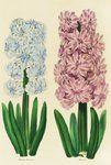 Hyacinths Madame Mermond and Helicon botanical print by Maria Sibylla Merian
