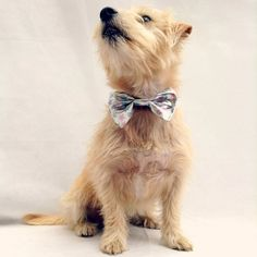 Bow Ties Are Cool!    Has your dog been invited to a special occassion? What on earth are they going to wear? Why a fabulous Bow Tie of course.