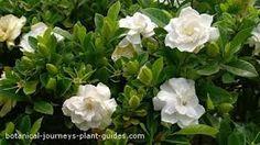 gardenia bush - Google Search