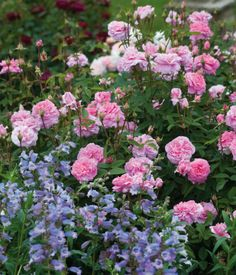 Since 'The Mayflower' is a shrub rose which repeat flowers with exceptional continuity and is rarely without flowers, you will enjoy this lovely combo for many, many weeks!