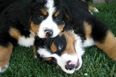 bernese mountain dogs -- my future first dog :) Burmese Mountain Dogs, Swiss Mountain Dogs, Bernese Mountain Dog Names, Most Popular Dog Names, Most Popular Dog Breeds, Top Dog Names, Entlebucher, Most Beautiful Dogs, Dog Coloring Page