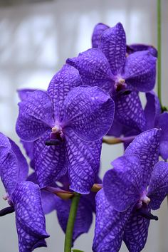 Vanda Varavuth Izumi bright purple great for bouts corsages and touches in the bridal bouquet