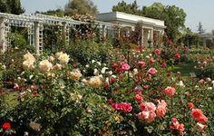 Huntington Rose Garden Pasadena | The Huntington Library and Gardens Rose Garden