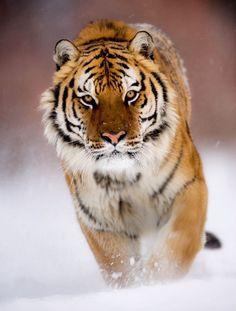 tigre marchand sur la neige