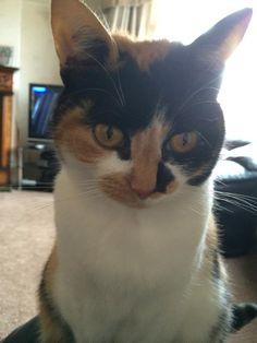 Daisy Cat | Pawshake South Shields