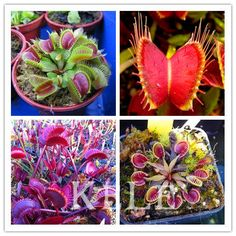 100pcs for VENUS FLY TRAP Flytrap Dionaea Muscipula CARNIVOROUS Flower Seeds Dionaea Muscipula Giant Clip Flytrap Seed,#8ATG2T #clothing,#shoes,#jewelry,#women,#men,#hats,#watches,#belts,#fashion,#style
