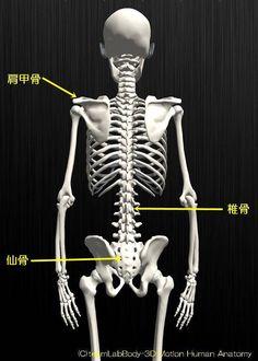 人の骨の名称を解剖のイラスト図上半身後面