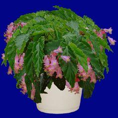 Angelwing Begonia Pink Cane