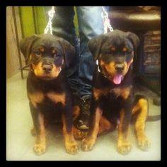Rottweiler Puppies!