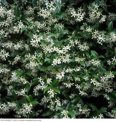 jasmine flowers ....a must......I LOVE the smell of fresh jasmine!