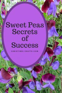 This article shows you how to grow strong healthy plants which will flower all summer long. Great cut flowers for the house too! Sweet Peas Success S Pea Trellis, Flower Trellis, Cut Flower Garden, Beautiful Flowers Garden, Flower Farm, Beautiful Gardens, Flower Gardening, Diy Flower, Cactus Flower