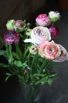 Ranonkels prachtige lente bloemen