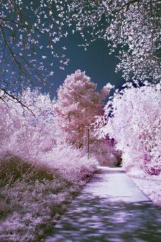 Blossom road - imagine walking through this