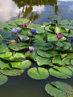 Flores acuáticas Jardín Botánico Caracas