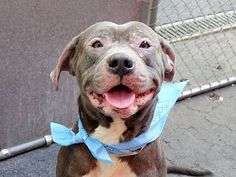 TO BE DESTROYED - MONDAY - 6/2/14 Manhattan Center -P  My name is DIESEL. My Animal ID # is A1000935. I am a male gray and white pit bull mix. The shelter thinks I am about 1 YEAR 7 MONTHS old.  I came in the shelter as a OWNER SUR on 05/24/2014 from NY 10460, owner surrender reason stated was ALLERGIES.
