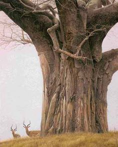 Robert Bateman - Baobab Tree and Impala - Search Gallery One for Bateman, Robert limited edition prints, giclee canvases and original paintings by internationally-known artists Le Baobab, Baobab Tree, Weird Trees, Old Trees, Tree Forest, Big Tree, Canadian Artists, Wildlife Art, Tree Art