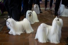 Westminster Kennel Club Dog Show 2017 Maltese Maltese dogs prepare to take the field for competition at the 141st Westminster Kennel Club Dog Show, February 13, 2017 in New York City. CREDIT: Drew Angerer, Getty Images